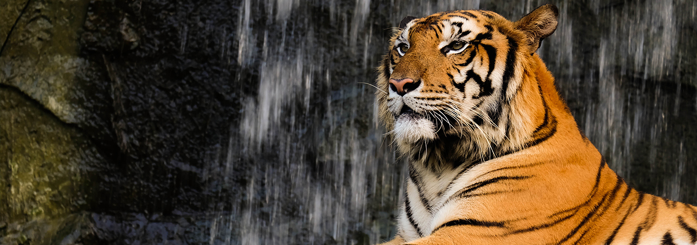 Wildlife Conservation - Tiger